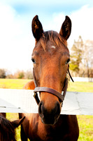 Thoroughbred Racehorse with a Deadpan Expression