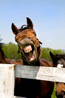 Thoroughbred Racehorse with Distorted Humor